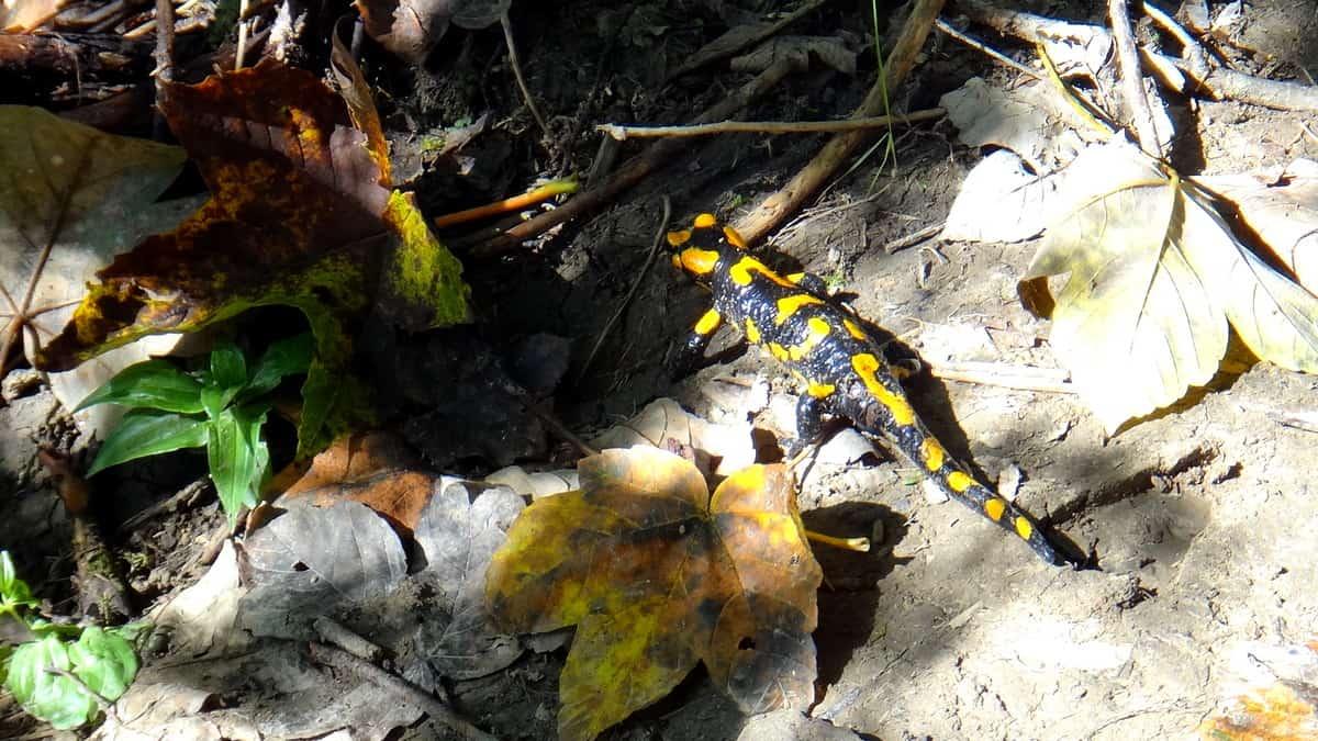 Salamandry w drodze na Połoninę Wetlińską