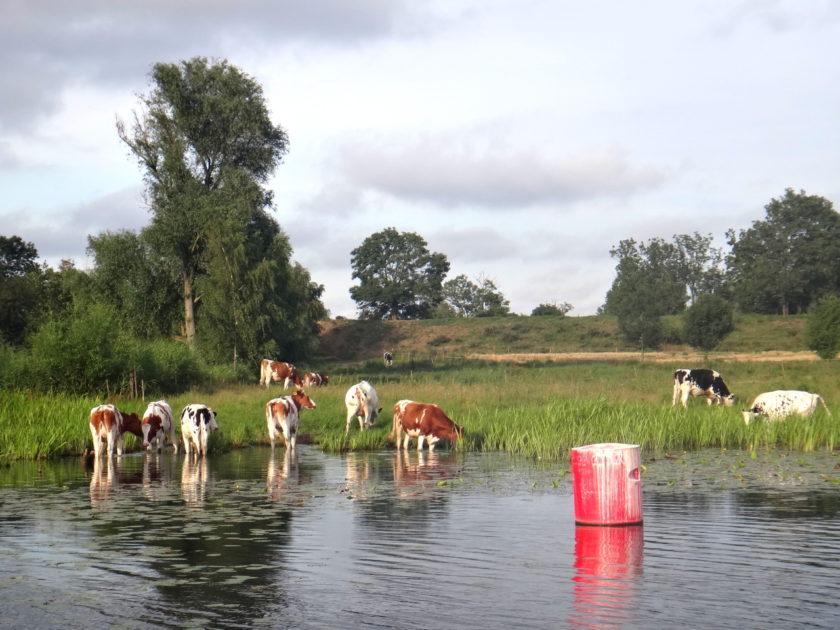 Pasące się krowy - widok z pokładu hausbota