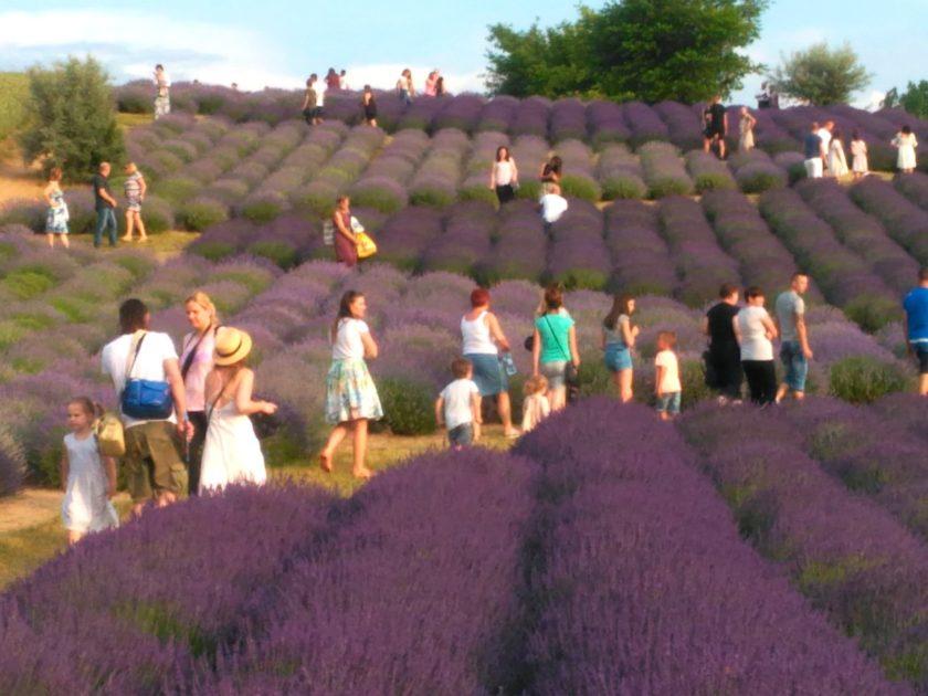 Tłum odwiedzających ogród pełen lawendy.