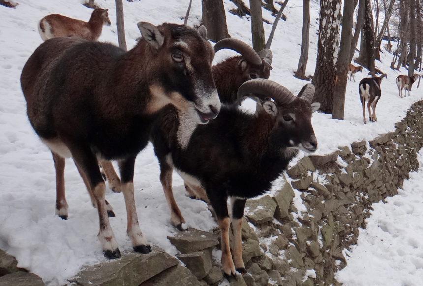 Beskid Śląski zimą. Leśny Park Niespodzianek. Muflony.