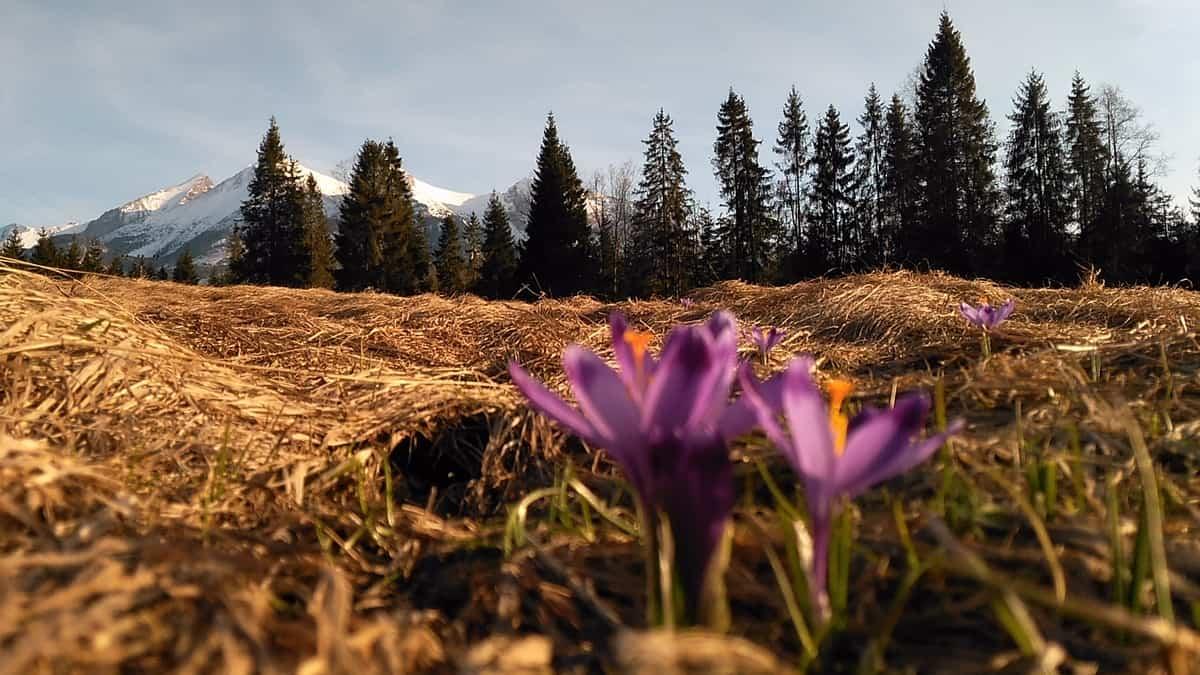 Krokusy na tle ośnieżonych szczytów.