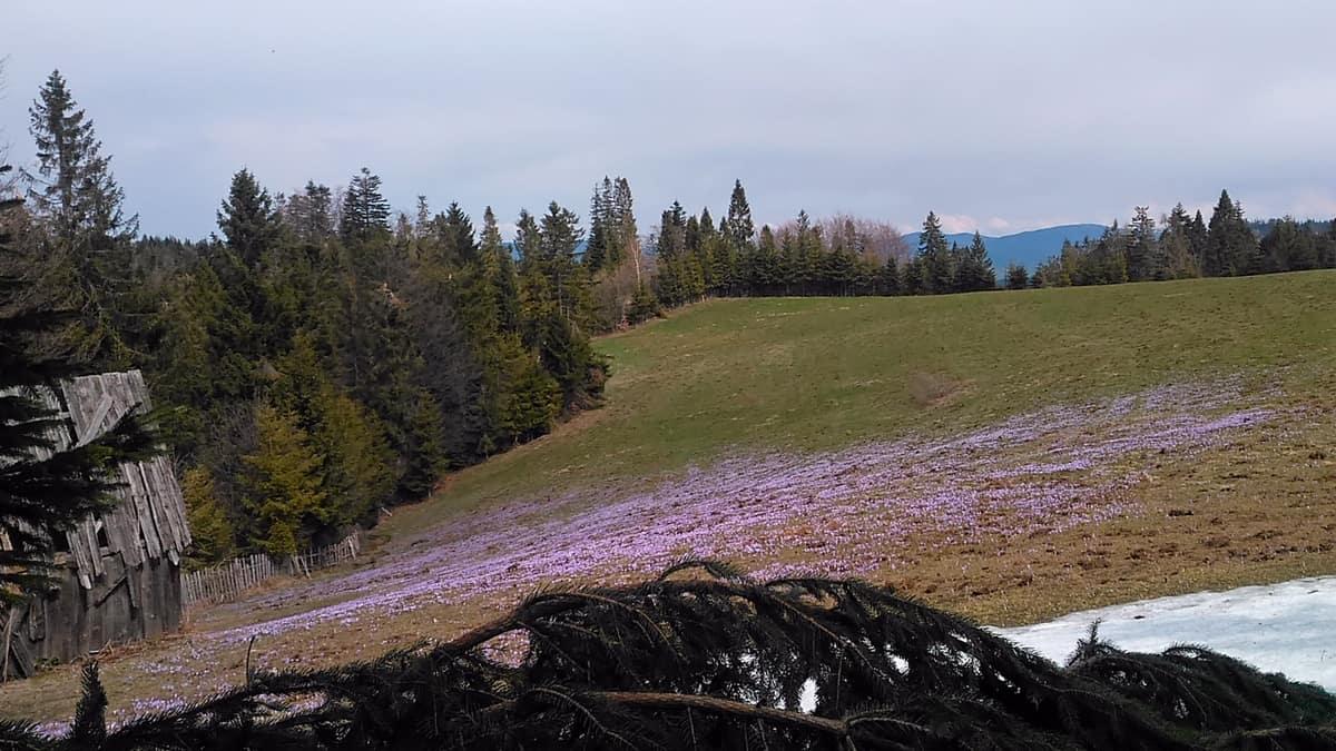 Łąka fioletowa od krokusów.