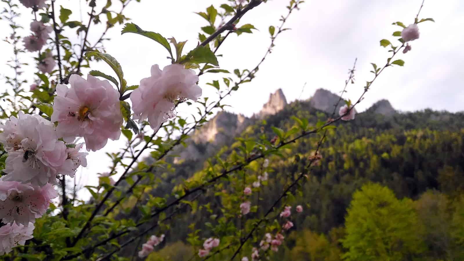 Trzy korony wśród kwiatów jabłoni.