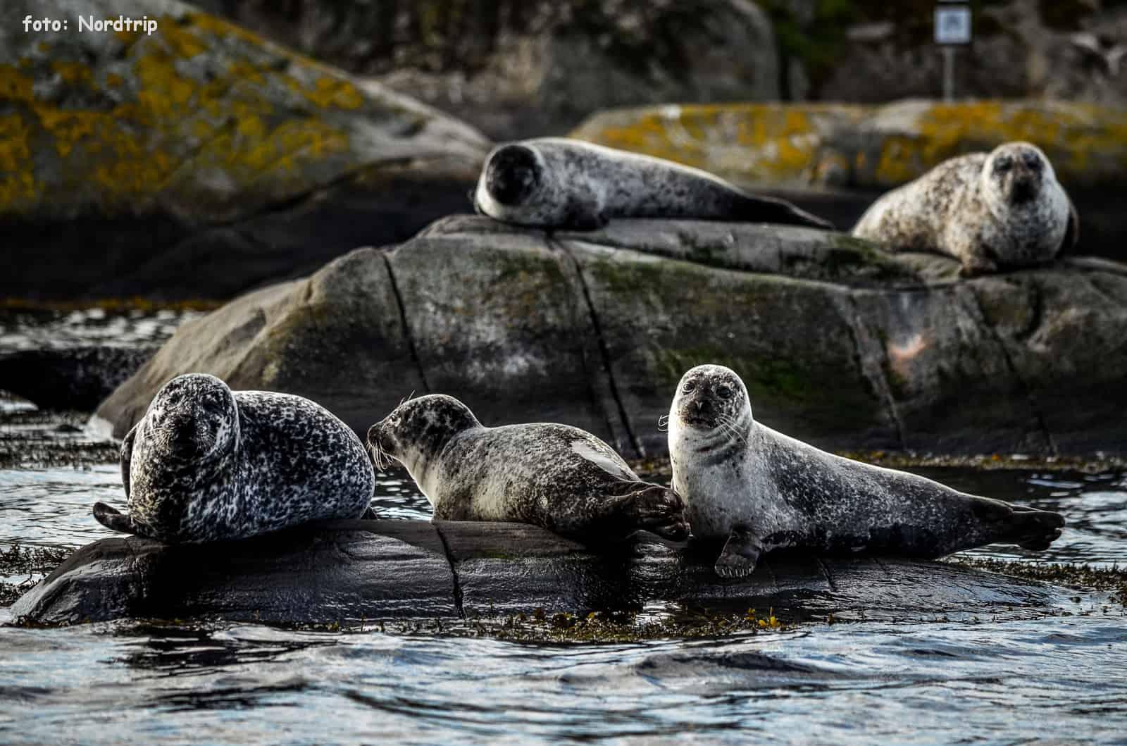 Foki na Norweskiej Riwierze.
