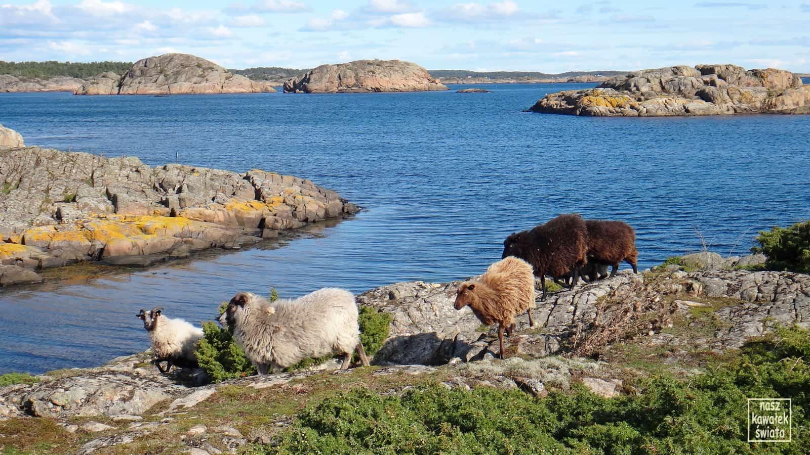 Owce na wyspie Calvoya.