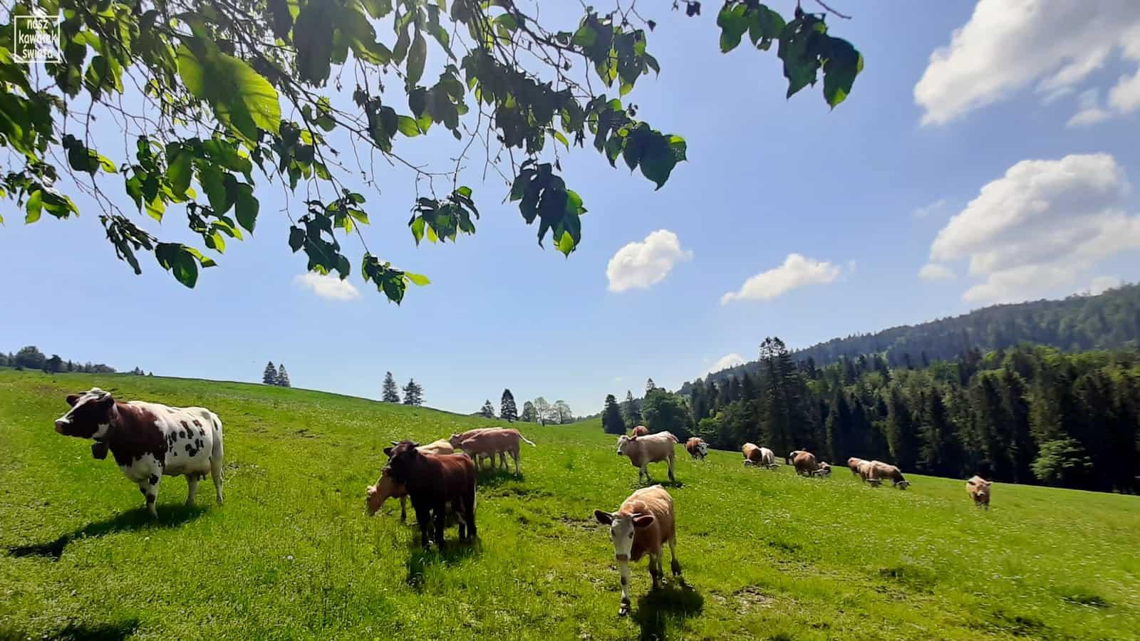 Krowy przy bacówce na podejściu na Przełęcz Rozdziela.