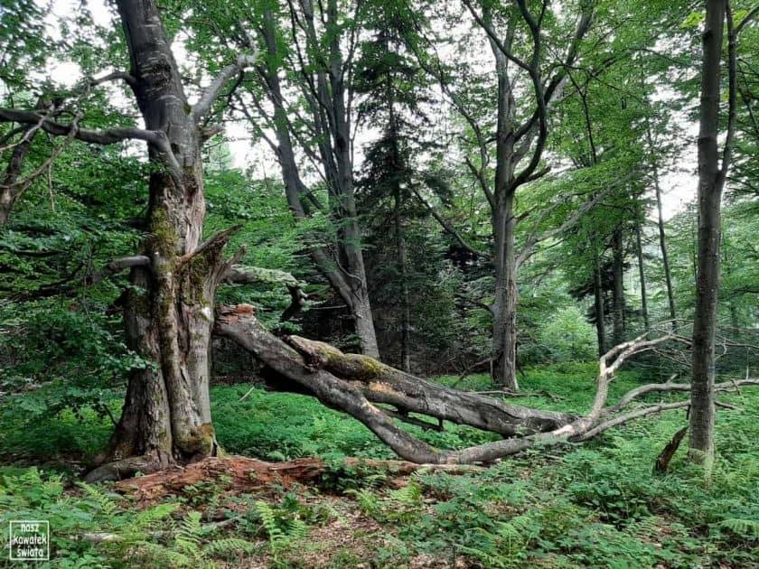 Bieszczadzki las