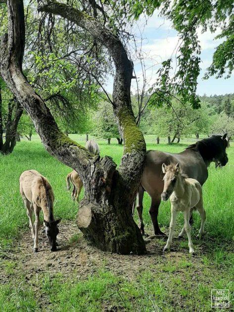 Koniki polskie z Florianki