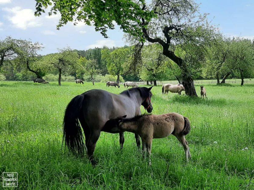 Koniki z Florianki