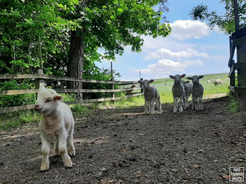 Owce polskie nizinne. Florianka.