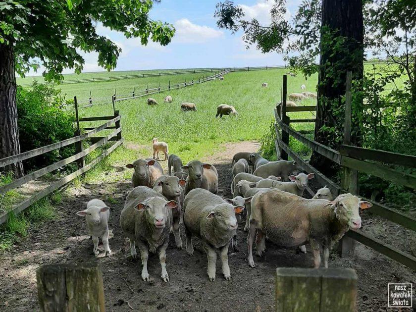 Owce polskie nizinne we Floriance