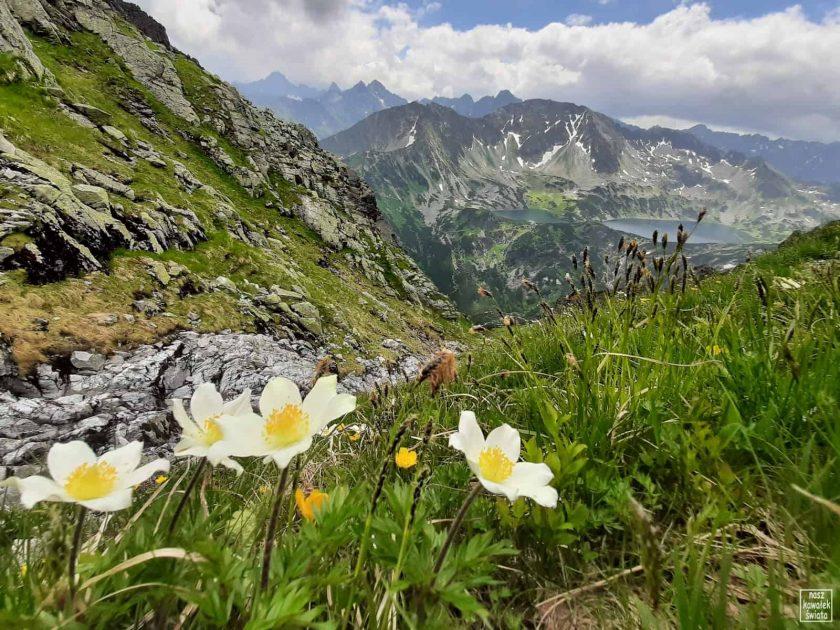 Sasanki alpejskie na Krzyżnem